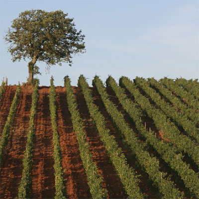 vineyards-1